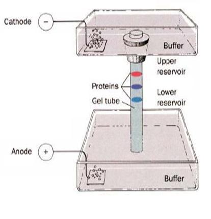 Disk Elektroforez